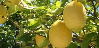 Lemon- Tree Markets